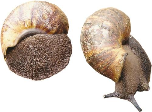 marketing snail in Nigeria
