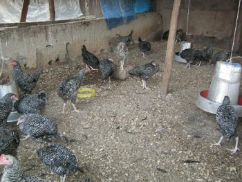 Chicken Business in Nigeria - Broilers