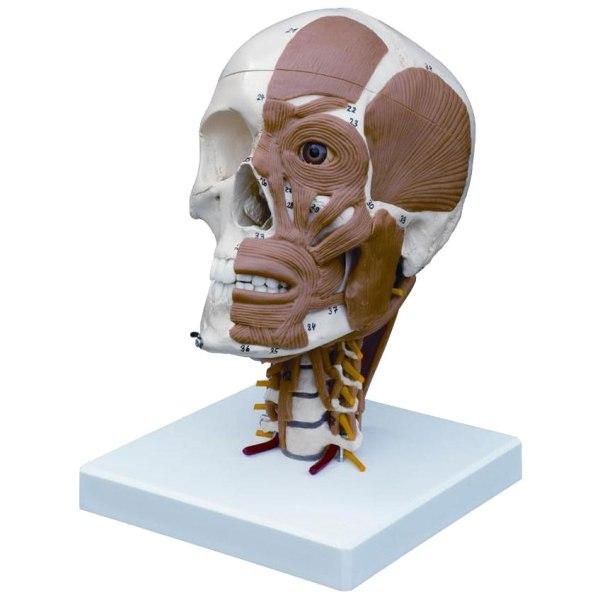 ZJY379C-Half_Skull_Muscled