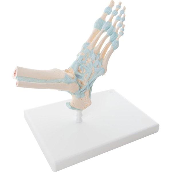 ZJY915F-Skeletal_Foot_Ligaments