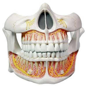 ZKH784P-Teeth_Permanent