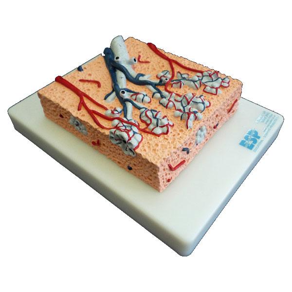 Lung Lobule Anatomical Model