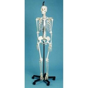 ZJY117X-Female-Skeleton