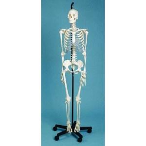 ZJY118B-Skeleton-Medical-Male