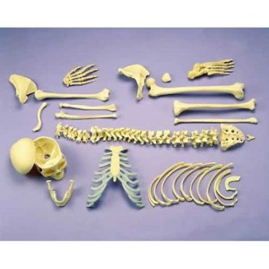 ZJY124R-Disarticulated-Full-Skeleton