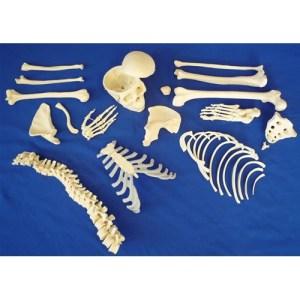 ZJY136V-Disarticulated-Half-Skeleton-3-Part-Skull