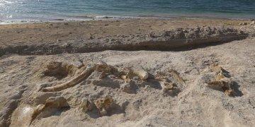 Kayseri'de 7,5 milyon yıllık zürafa fosili bulundu