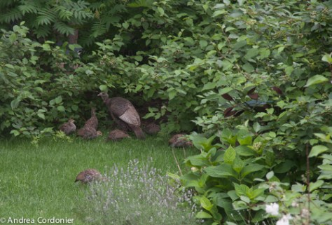 Wild Turkeys Burritt's Rapids