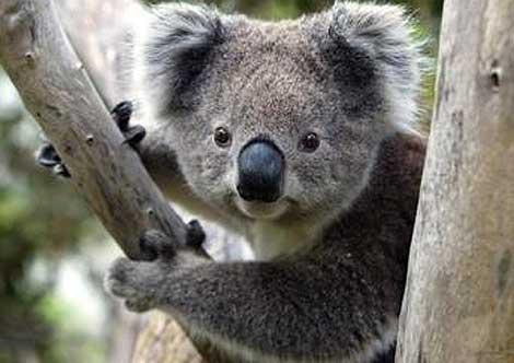 how are koalas endangered