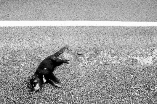 Tasmanian Devil Road Kill (Rhys Allen)