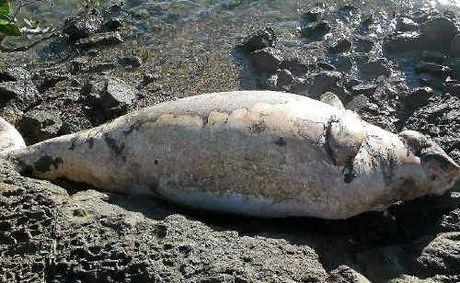 Gladstone Dugong Dead