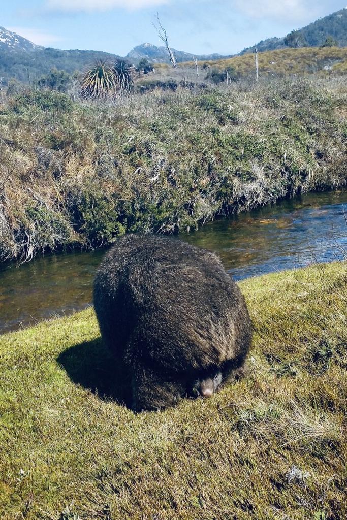 Wombat with joey