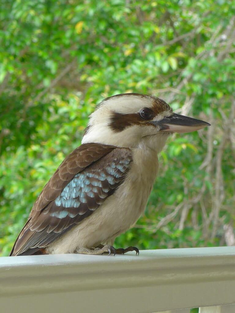 Kookaburra Henry