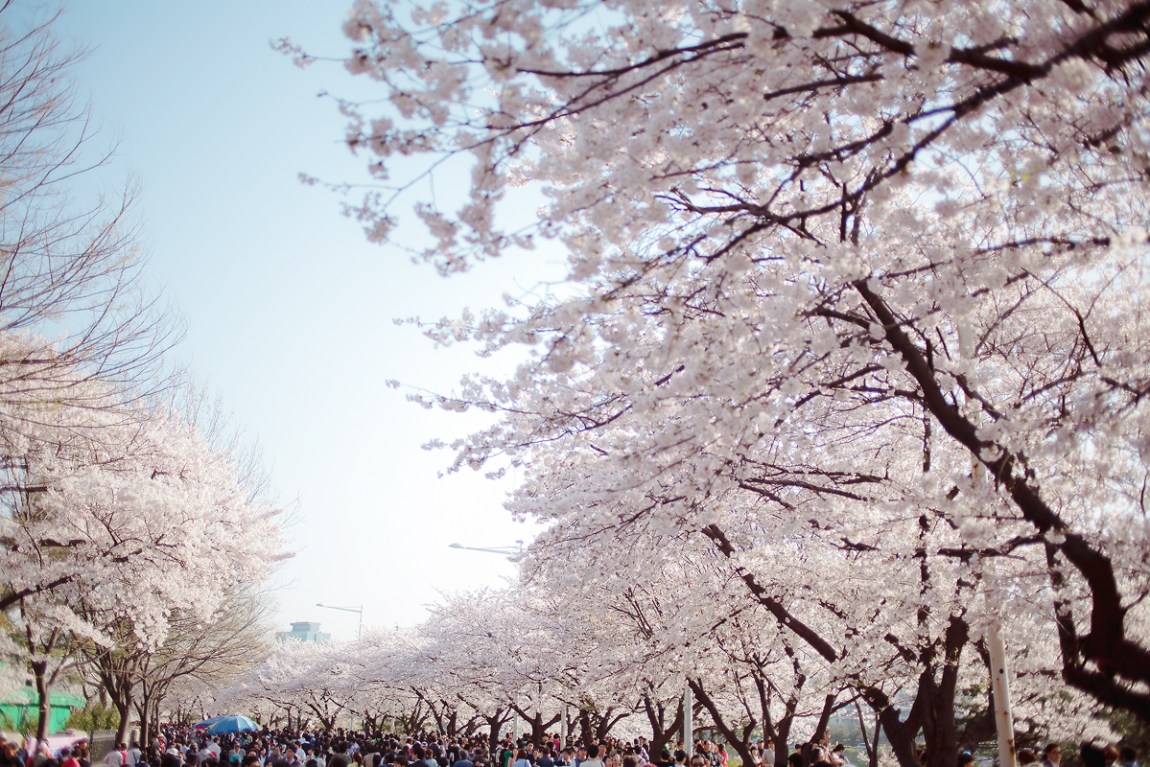 Yeoido Cherry Blossom (Spring Flower) Festival will be started in 10 days