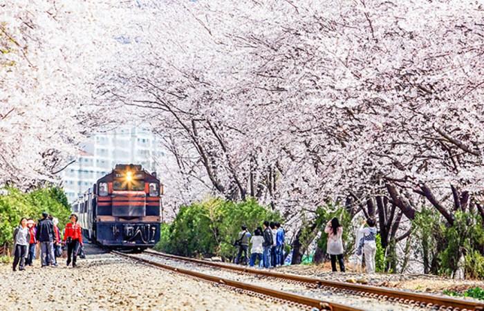 Jinhae-Cherry-Blossom