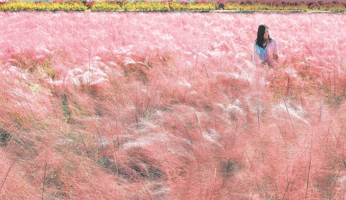 Pink Muhly Gardens becoming a new tourist attraction in Korea
