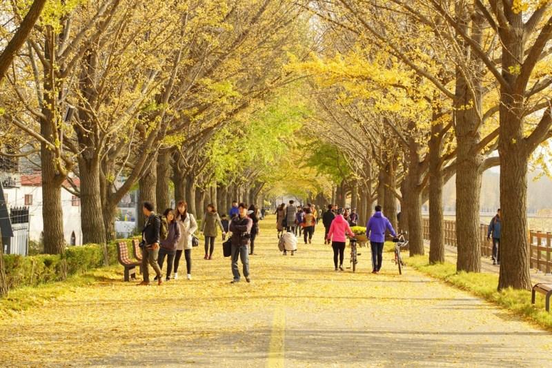 The Asan Gingko Tree Road
