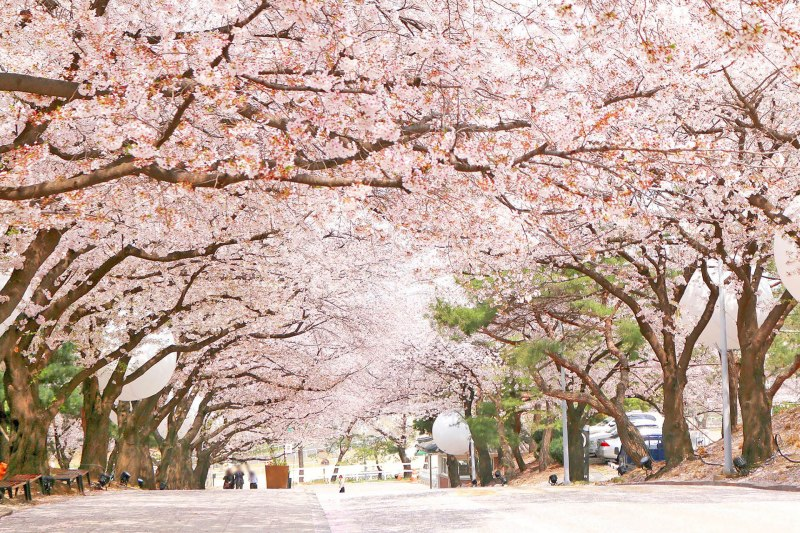 2018 The Best Cherry Blossom Spots in Seoul