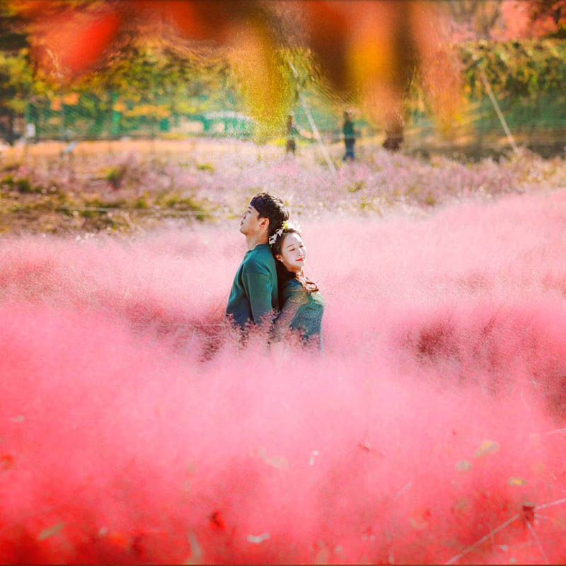 2019 Best Pink Muhly Spots in Seoul Area