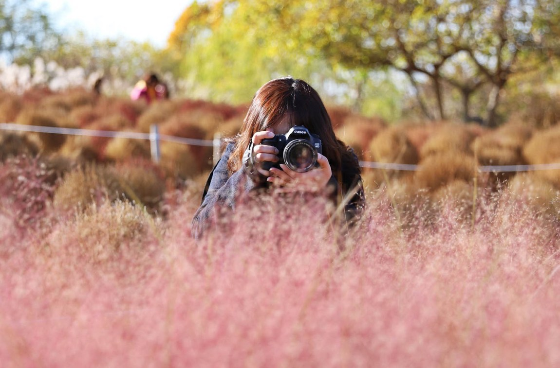 Pink Muhly is the star of autumn gardens in Korea
