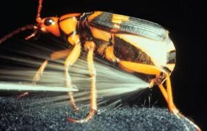 bombardier-beetles