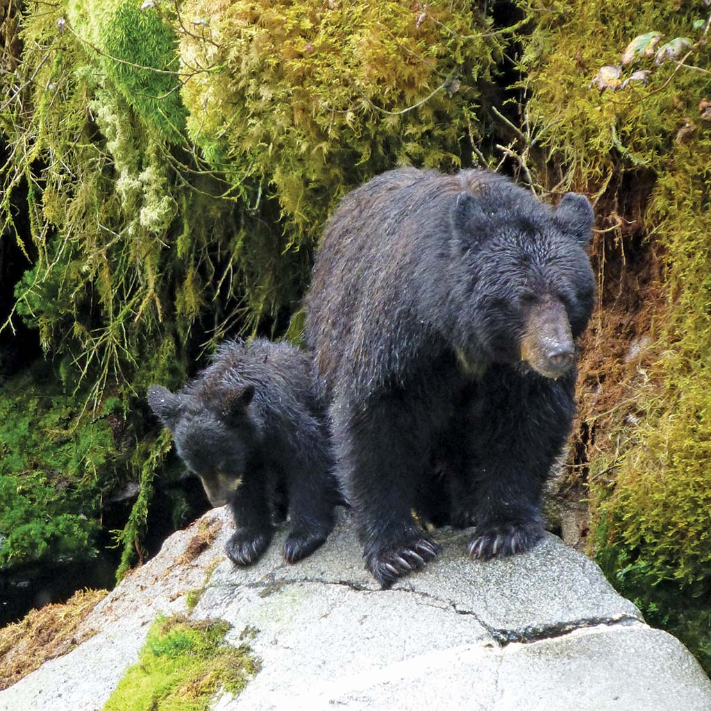 Two black bears atop a rock