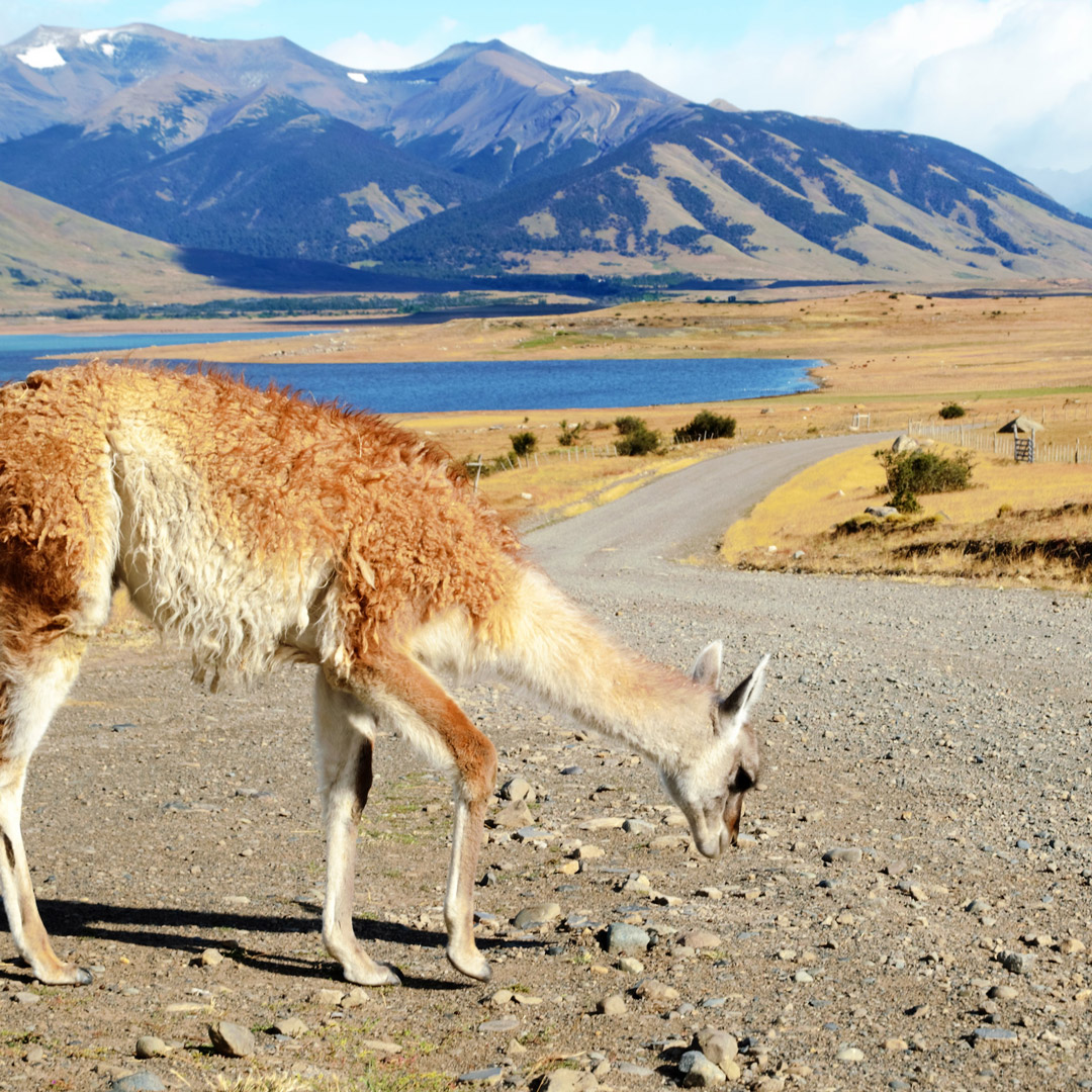 South American guanaco grazing in Perito Moreno National Park in Patagonia
