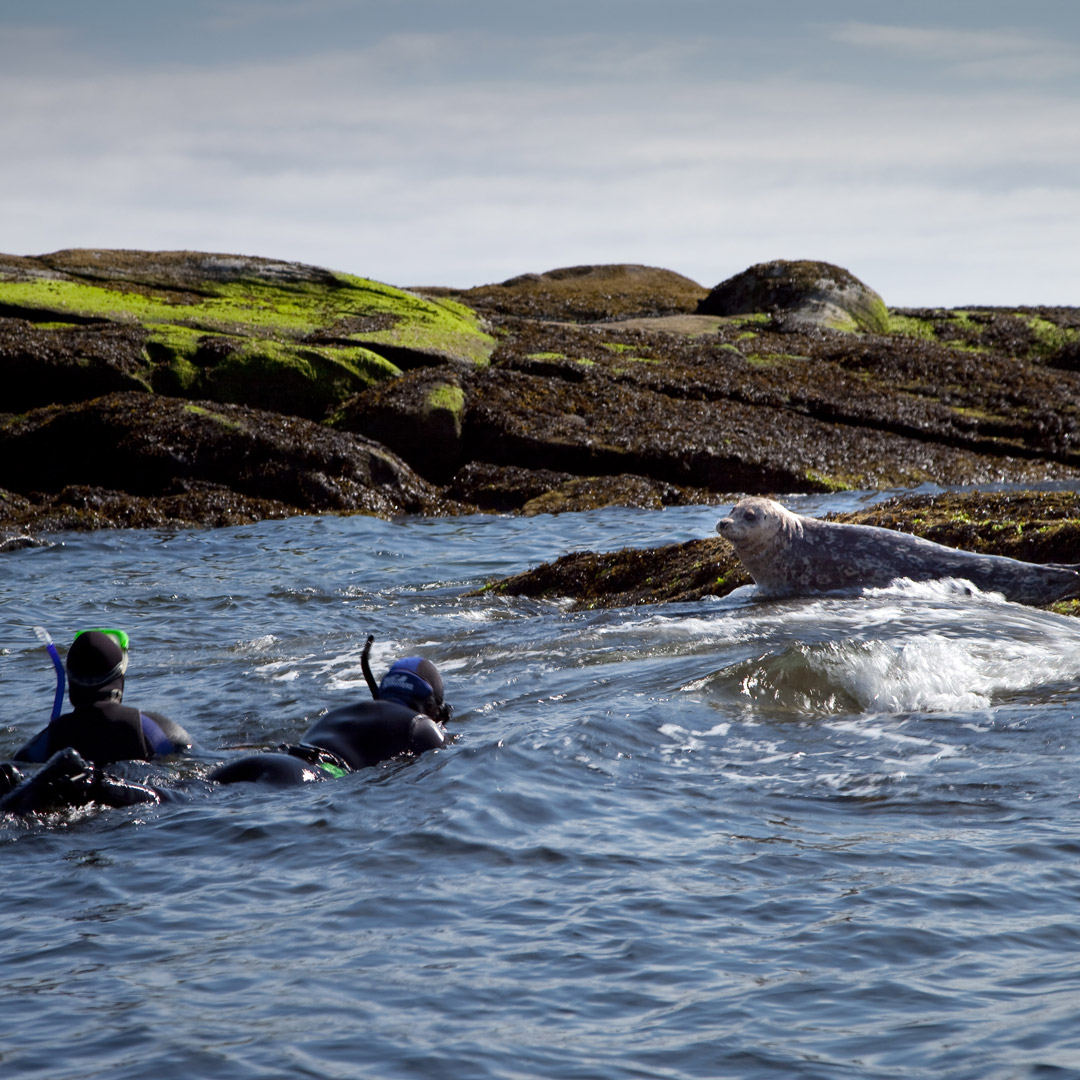 two snorkelers in the water near a seal in Nanaimo British Columbia
