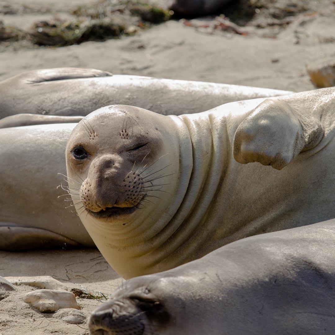 elephant seal winking