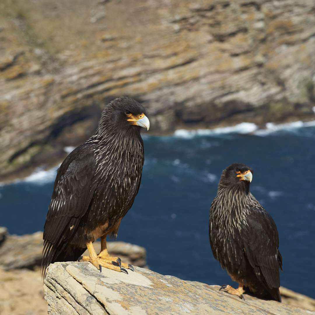 striated caracars on the Falkland Islands in Patagonia