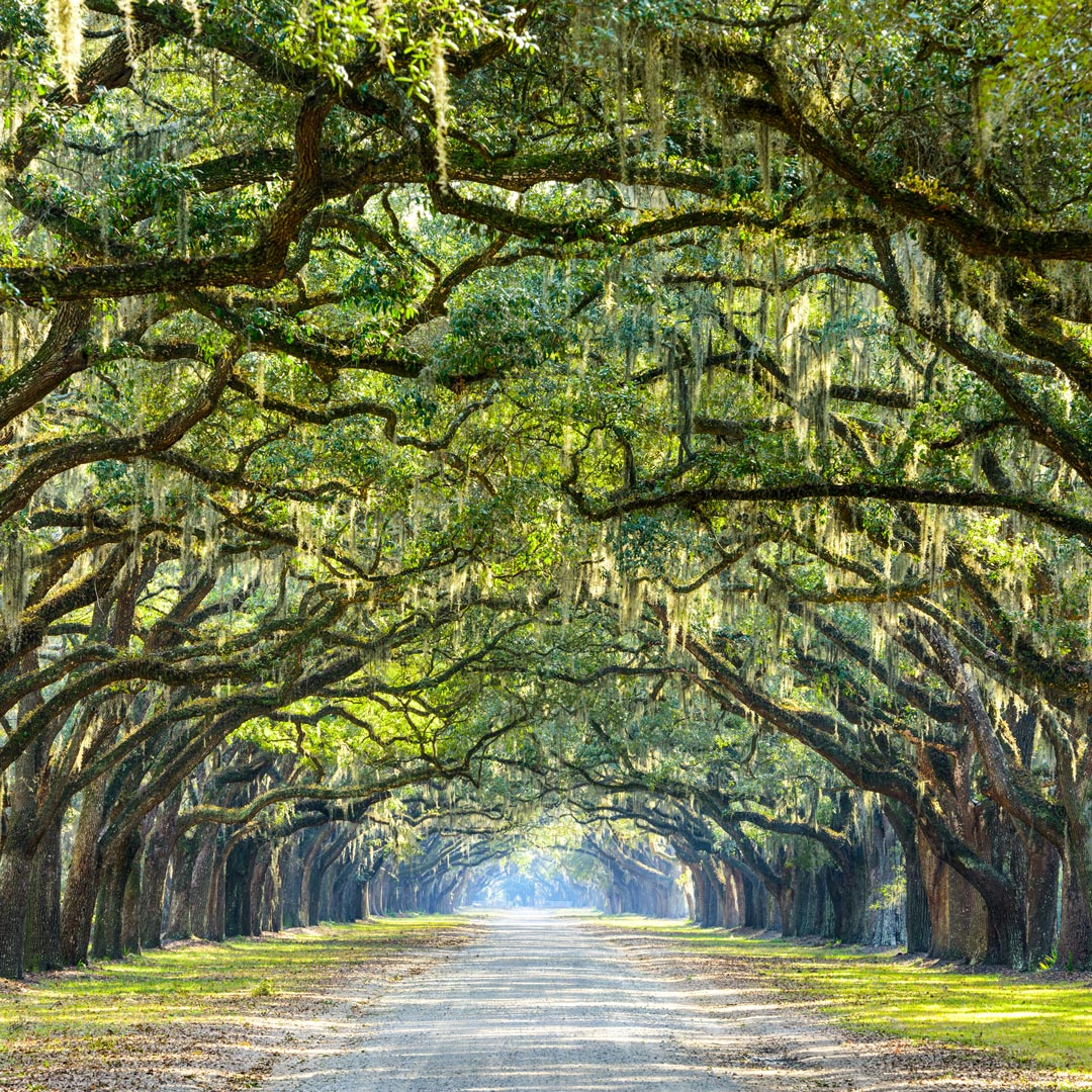 southern live oaks covered in spanish moss in Savannah Georgia