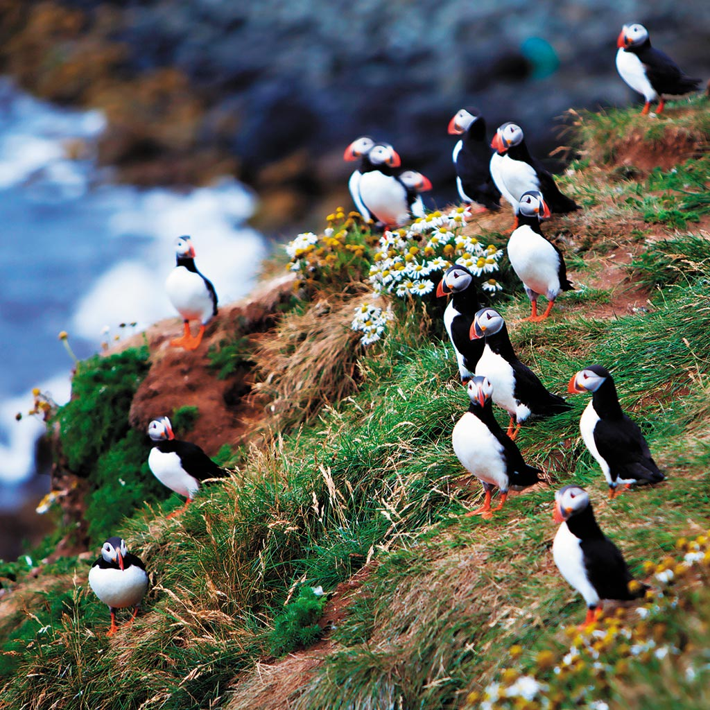 An Atlantic puffin colony on the cliffs of Grímsey.