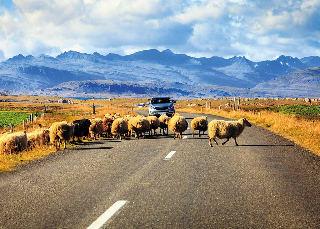 A herd of sheep crossing the Ring Road in southern Iceland