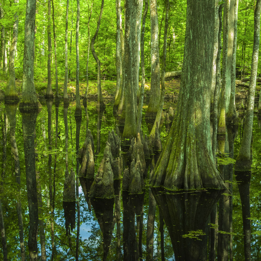 bald cypress trees covered in moss and surrounded by swamp water in Mississippi