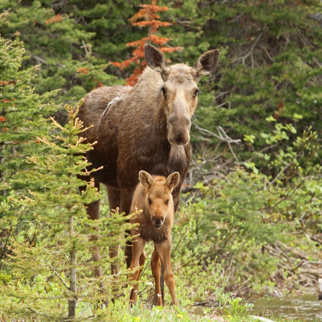 moose and calf surrounded by forest