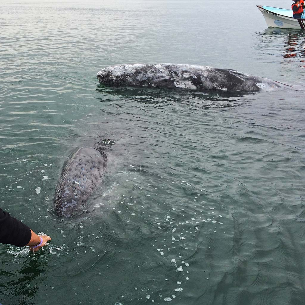 A man reaches over the side of a low boat to two gray whales in the water.