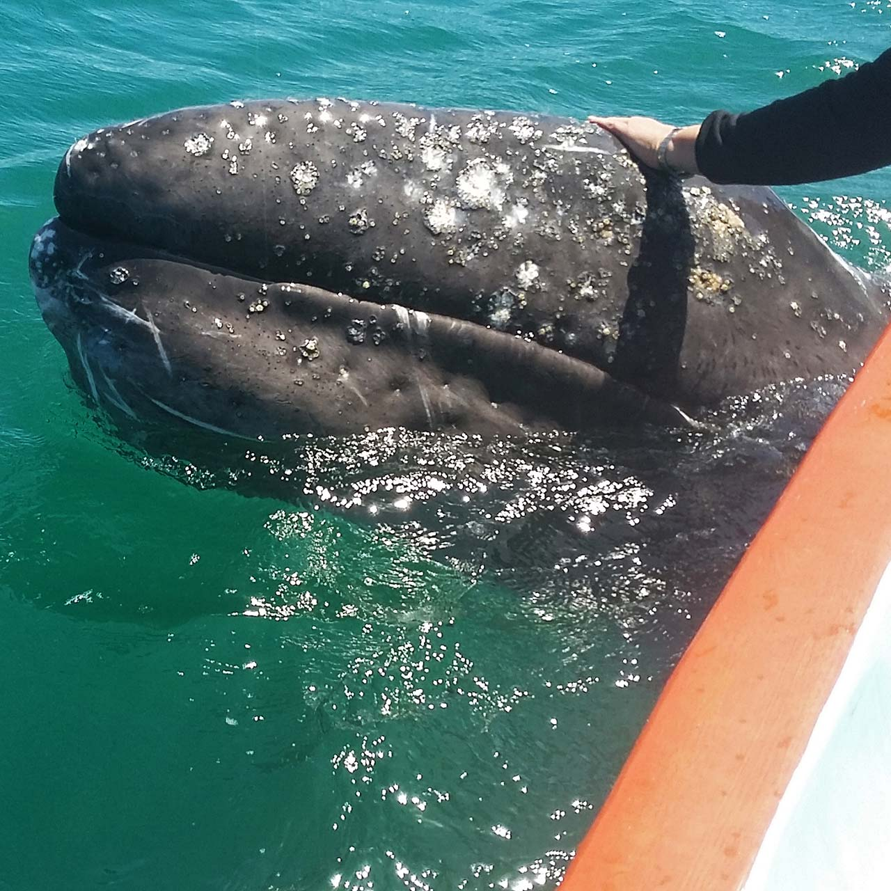 Petting a baby gray whale over the side of a small boat.