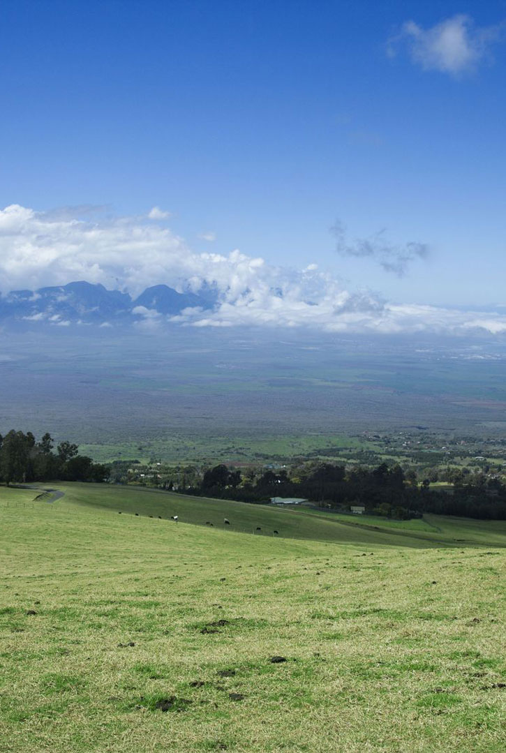 Cattle graze in upcountry Maui at PoliPoli State Recreation Area.