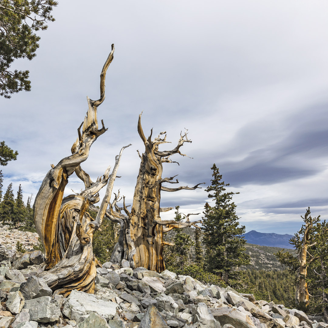 twisted trees on a mountainside in Great Basin National Park