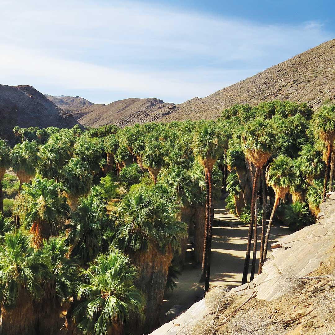 Fan palms in Palm Canyon