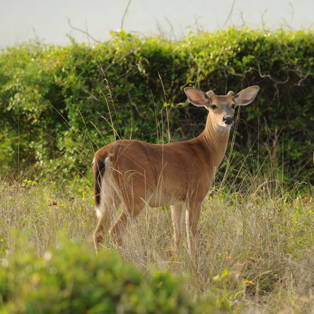 a young deer standing in grass on Kiawah Island