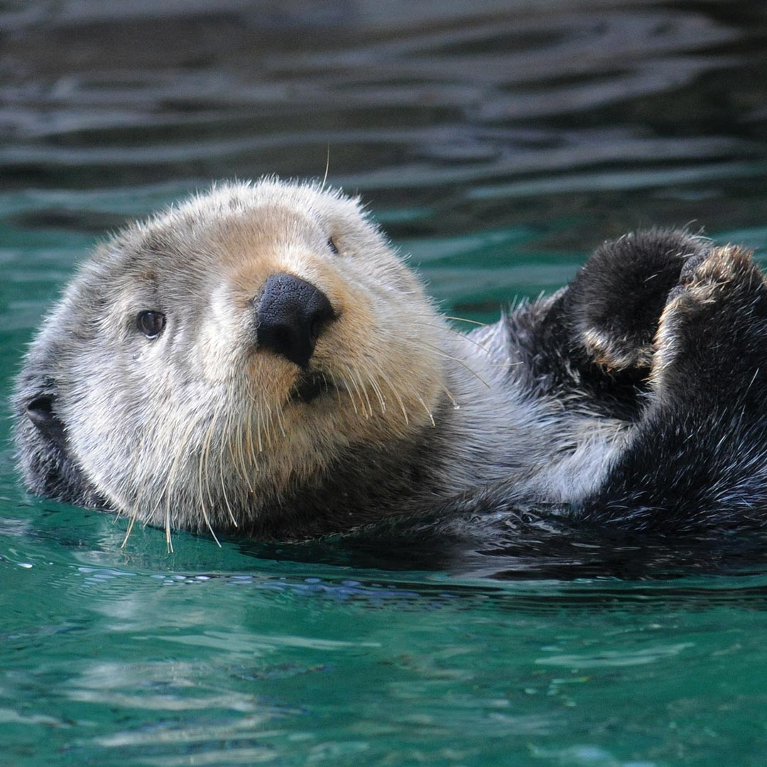 sea otter looking at the camera