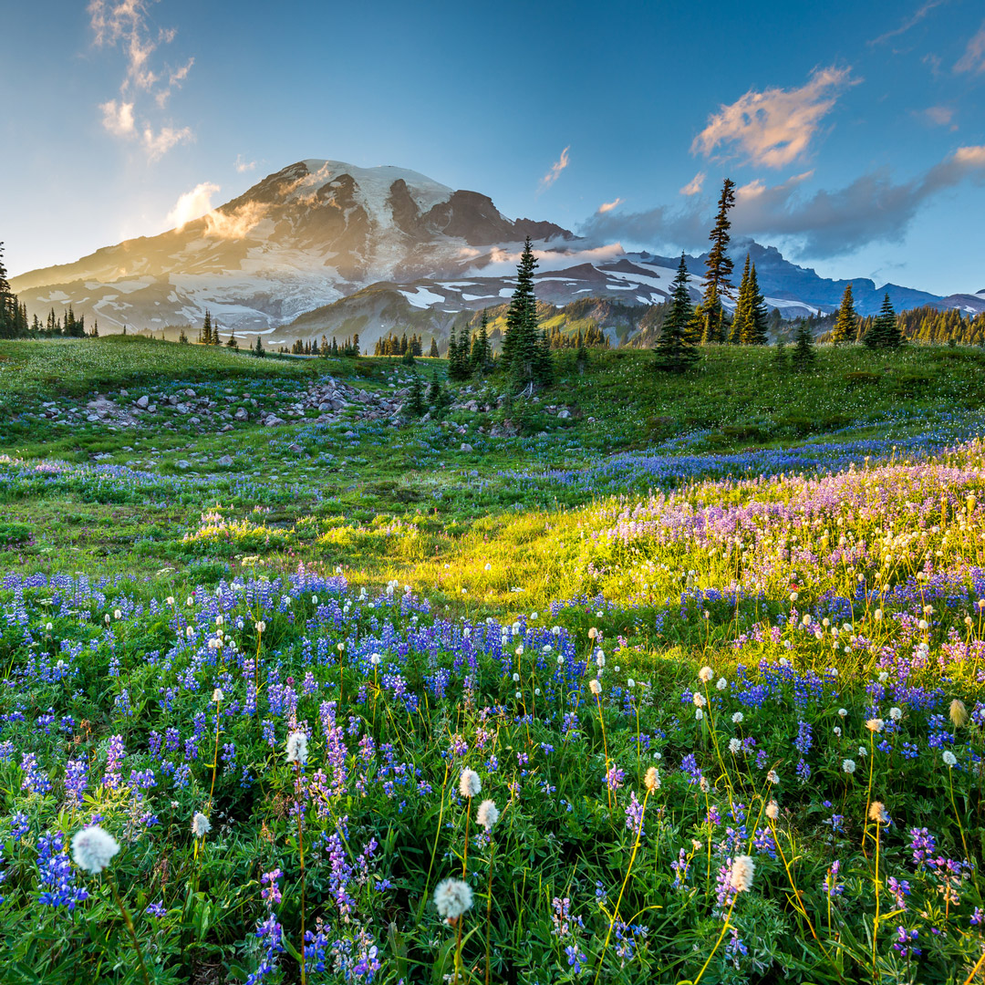 carpet of wildflowers with a view of Mt. Rainier
