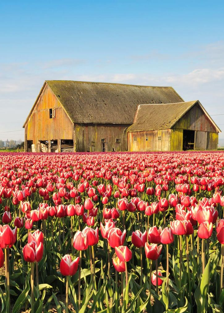 A barn in a field of pink tulips in Skagit Valley Washington.