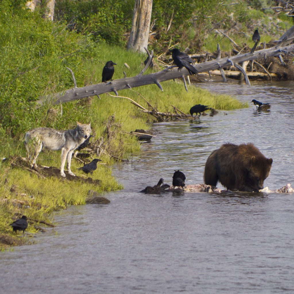 wolf and bear in water in Yellowstone National Park