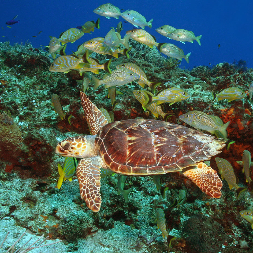 hawksbill sea turtle swimming among a school of fish