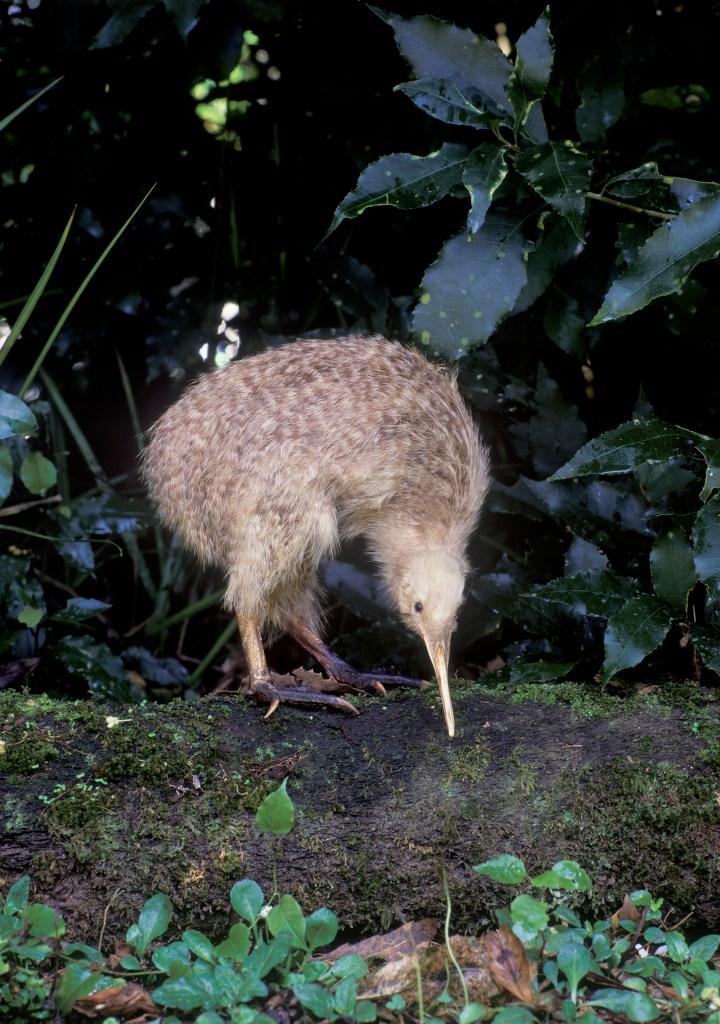 spotted kiwi