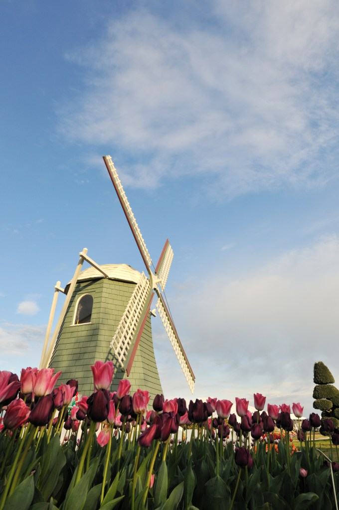 a windmill with tulips in bloom