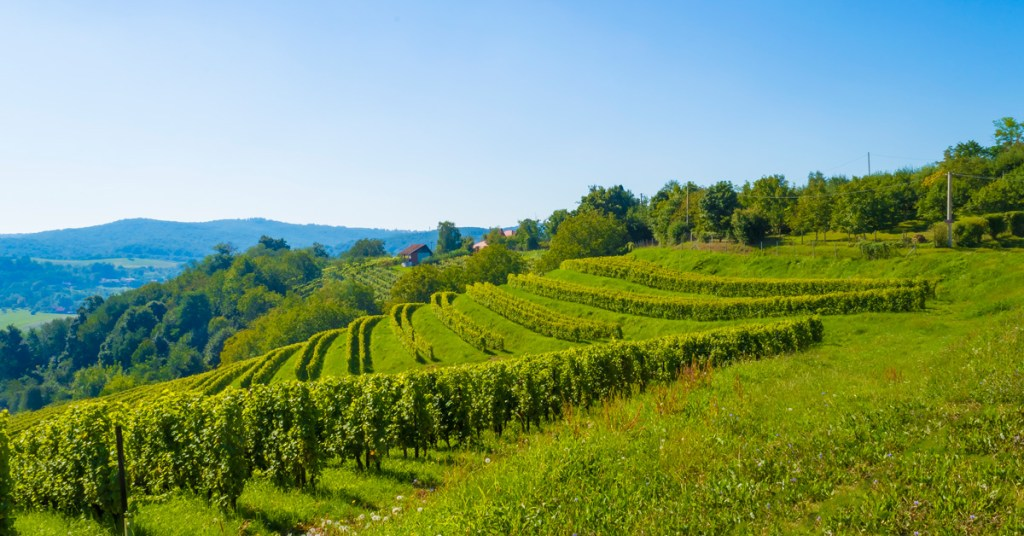 rolling green hills covered in grape vines