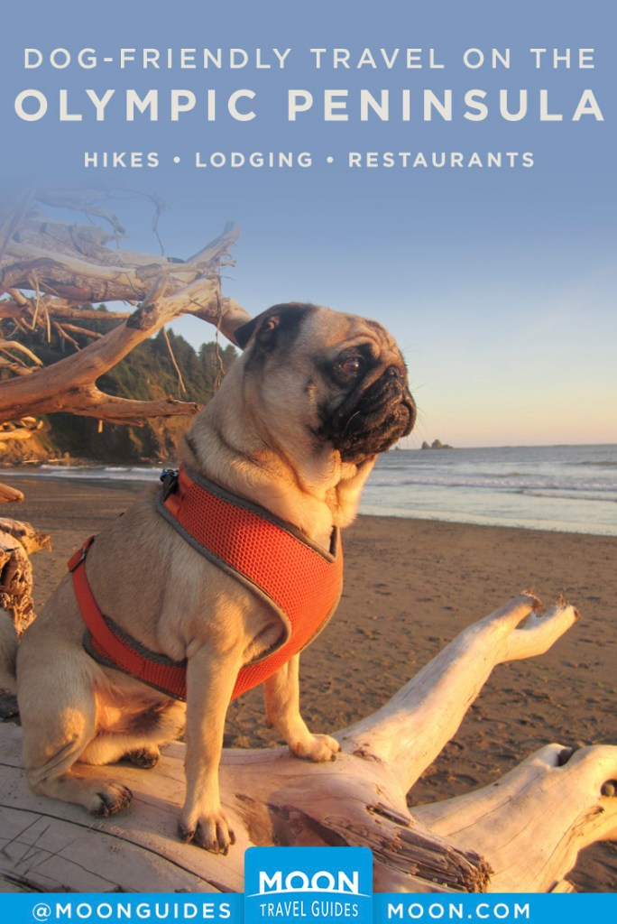Pug sitting on driftwood looking out to ocean at sunset. Pinterest graphic.